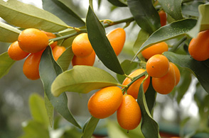 Citrus Trees The Best You Ll Ever Taste Can Come Directly From Your Own Scottsdale Arizona Among Most Por Fruit In