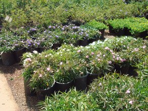 For Authentic Tropical Plants That Soothe The Senses In Your Own Backyard Select Among A Variety Of Whitfill Nursery S Plant Specimens Including